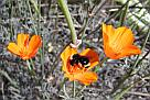 California Poppy with fully-loaded bumblebee
